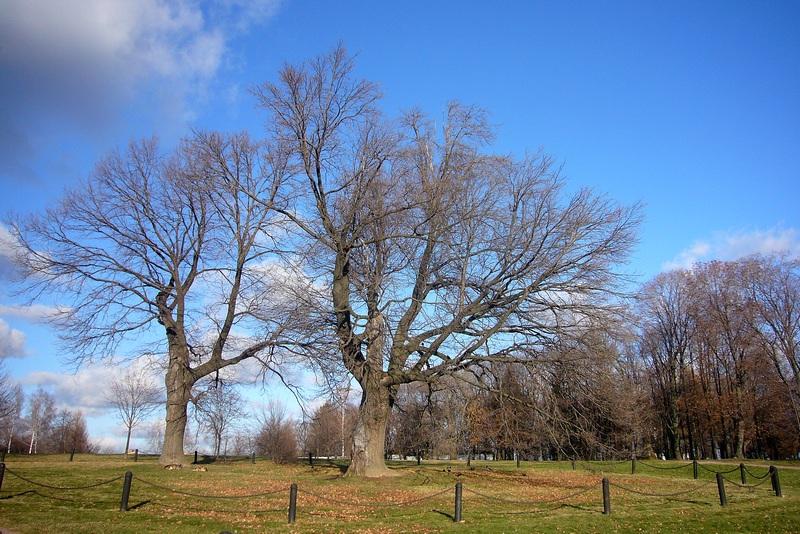 Петровские дубы