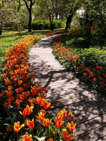 Тюльпаны и деревянная дорожка