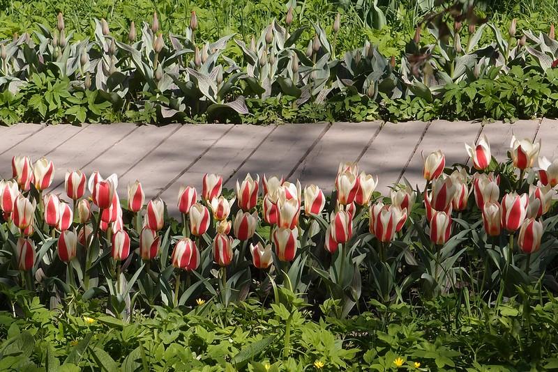 Тюльпаны в полосочку