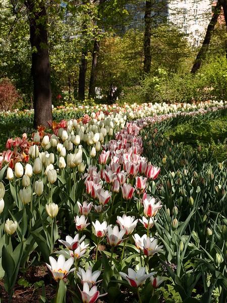 Тюльпаны между деревьями