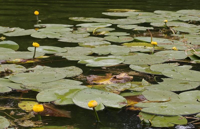 Кувшинки на Серебряно-Виноградном пруду