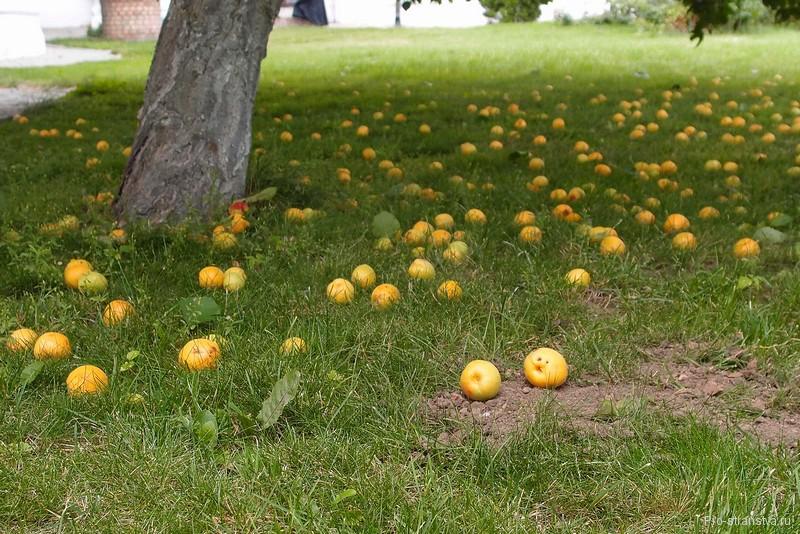 Абрикосы под деревом