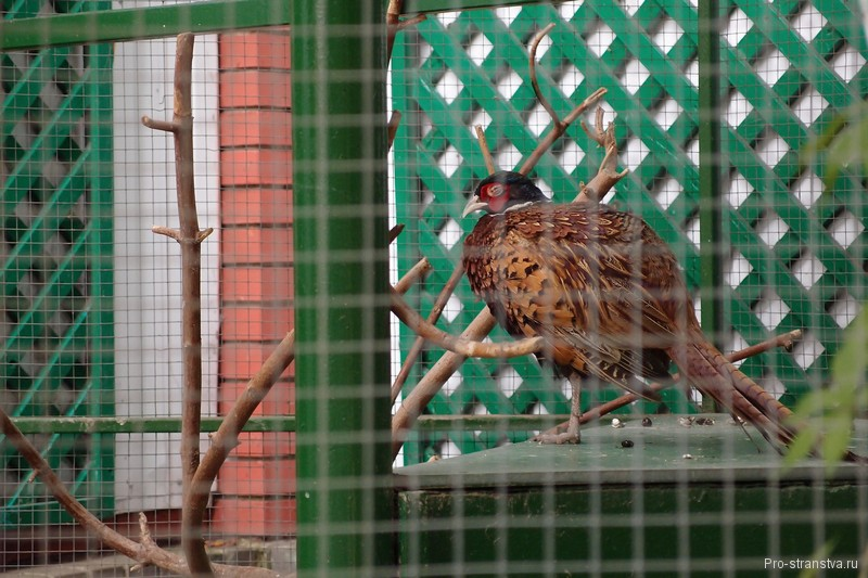 Спящий фазан