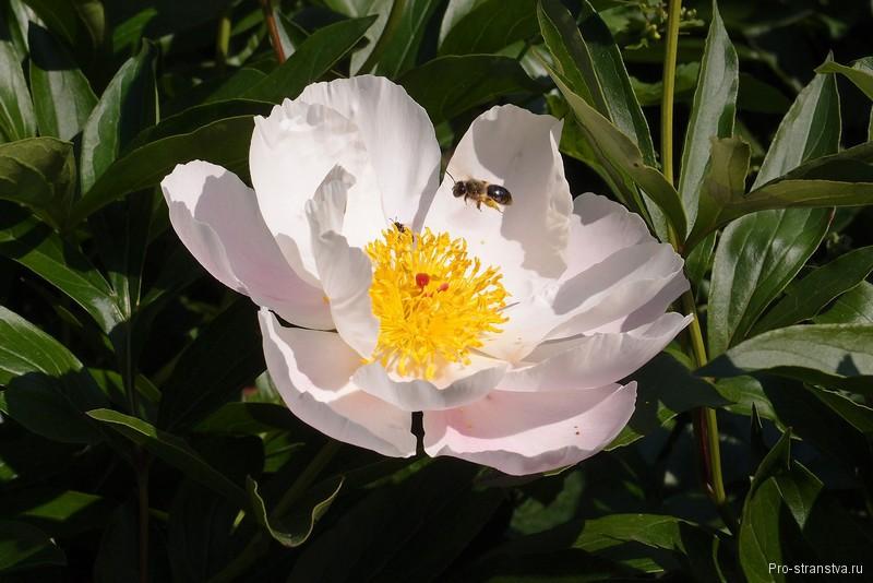 Пион и пчела