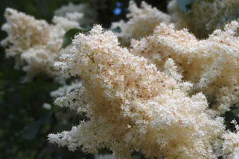 Душистые цветы