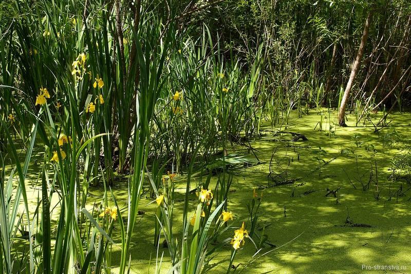 Желтые ирисы у берега