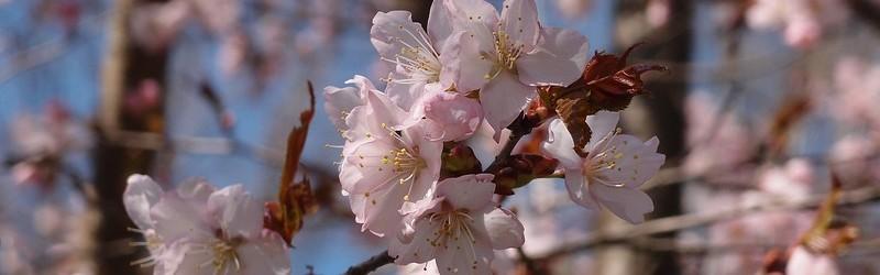 Цветущая японская вишня