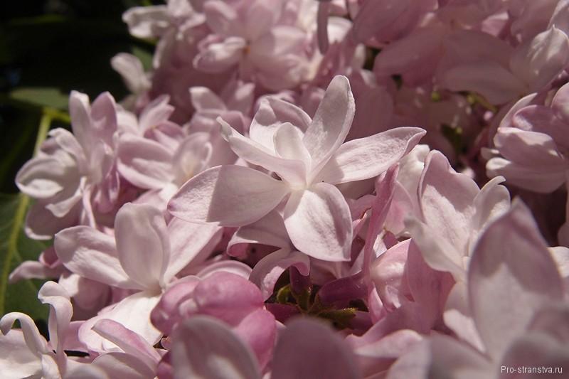 Лилово-розовый цветок