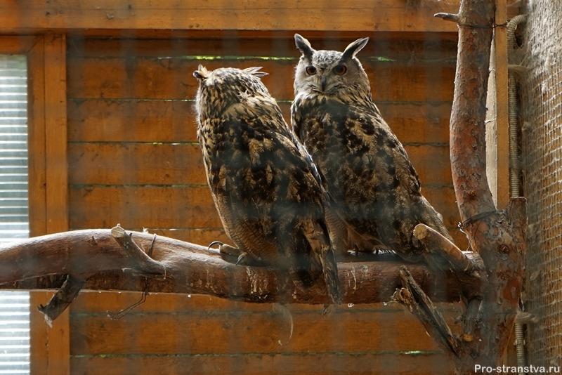 Пара филинов в птичнике