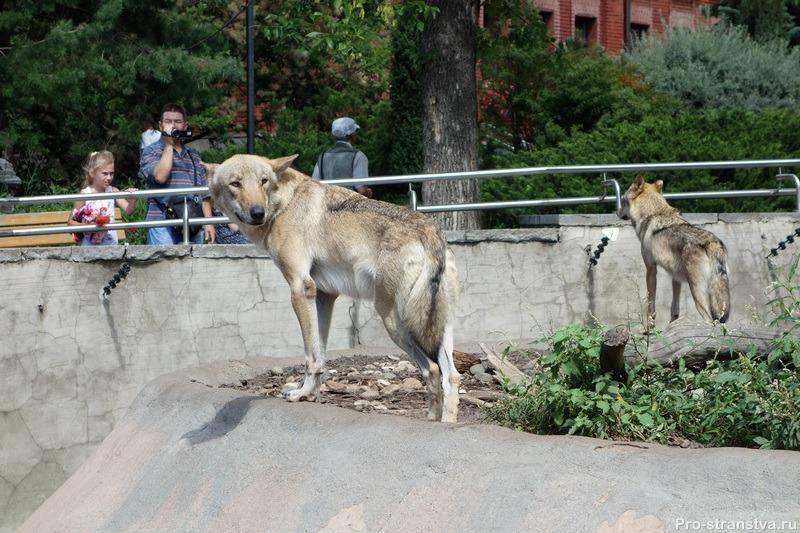 Волчья стая в зоо