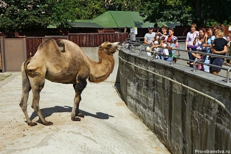 Посетители смотрят на верблюда