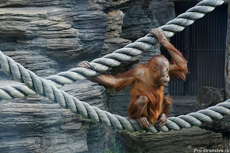 Орангутан в Москве