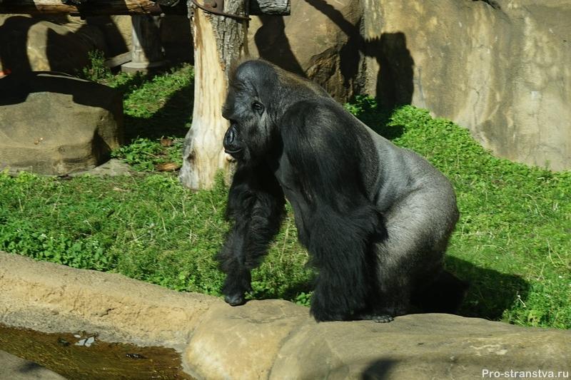 Самец гориллы