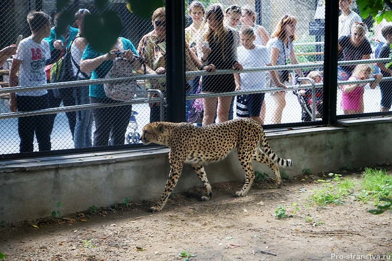 Гепард и посетители